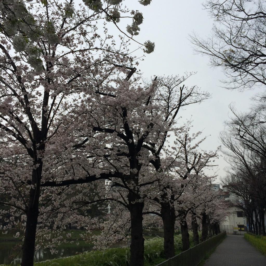 桃が池の桜